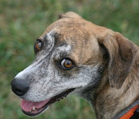 Whippet Mix Dog For Adoption in Rockaway, NJ, USA