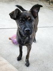 Whippet Dog For Adoption in Rancho Santa Margarita, CA, USA