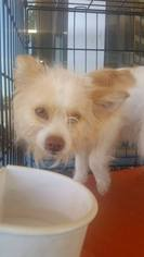 Maltipom Dog For Adoption in Porter Ranch, CA, USA
