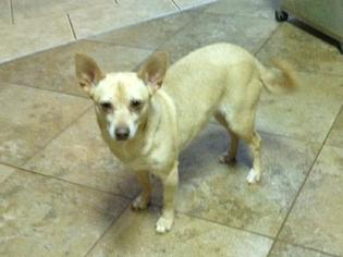 Chihuahua Dog For Adoption in Winder, GA, USA