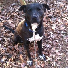 Mutt Dog For Adoption in Rutherfordton, NC, USA