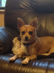 Chihuahua Dog For Adoption in Naples, FL