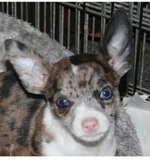 australian shepherd chihuahua mix
