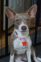 Chihuahua Dog For Adoption in Holly Springs, NC, USA