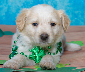 Puppyfinder com: Australian Retriever puppies for sale and