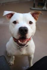 American Pit Bull Terrier Mix Dog For Adoption in San Francisco, CA