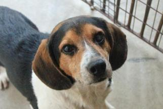 Beagle Dog For Adoption in Rossville, TN, USA