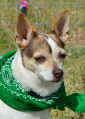 Jack Chi Dog For Adoption in Liverpool, TX