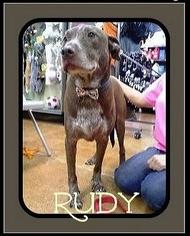 American Bulldog Mix Dog For Adoption in Arlington, TX