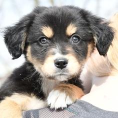 Bernese Mountain Dog Australian Shepherd Mix For Sale