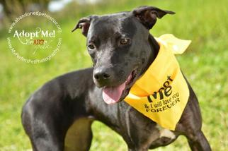 Labrador Retriever-Unknown Mix Dog For Adoption in Fort Lauderdale, FL, USA