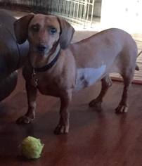 Dachshund Mix Dog For Adoption in Coatesville, PA, USA