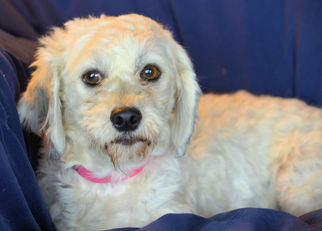 Havanese Dog For Adoption in Bon Carbo, CO, USA