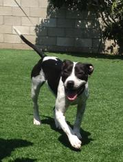 American Pit Bull Terrier-Pointer Mix Dog For Adoption in Rancho Santa Margarita, CA, USA
