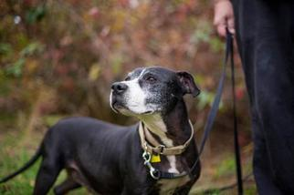 American Pit Bull Terrier Mix Dog For Adoption in Sandy, OR, USA