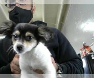 Chion Dogs for adoption in Camarillo, CA, USA