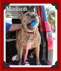 Staffordshire Bull Terrier Mix Dog For Adoption in Arlington, TX, USA