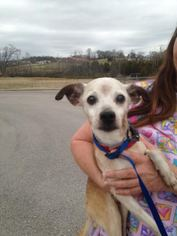 Chihuahua Dog For Adoption in Columbia, TN