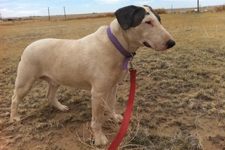 Bull Terrier Dog For Adoption in Yoder, CO, USA