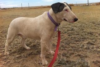Bull Terrier Dog For Adoption in Yoder, CO