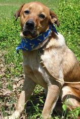 English Setter-Rottweiler Mix Dog For Adoption in Holly Springs, MS, USA