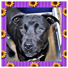 American Pit Bull Terrier Mix Dog For Adoption in San Jacinto, CA, USA