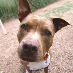 American Pit Bull Terrier Mix Dog For Adoption in Austin, TX, USA
