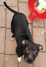 American Pit Bull Terrier Dog For Adoption in Rockaway, NJ, USA
