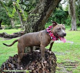 American Pit Bull Terrier Dog For Adoption in Thonotosassa, FL, USA