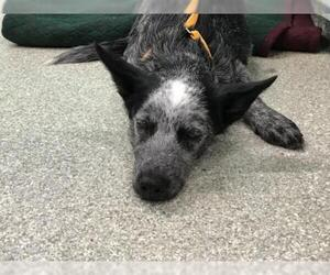 Australian Cattle Dog Dogs for adoption in pomona, CA, USA