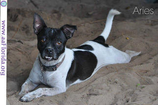 Rat Terrier Dog For Adoption in Pensacola, FL