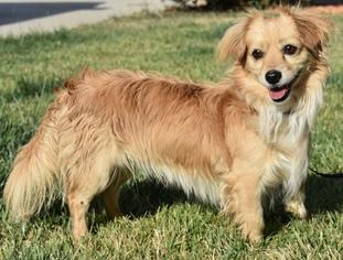 View Ad Cavapom Dog For Adoption Near