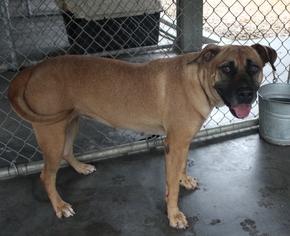 Labrador Retriever Mix Dog For Adoption in Hilton Head, SC