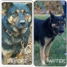 German Shepherd Dog Dog For Adoption in Morrisville, NC, USA