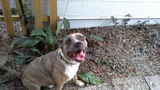 Boxer Mix Dog For Adoption in Fort Myers, FL, USA