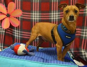 Dachshund Mix Dog For Adoption in Columbia, TN, USA