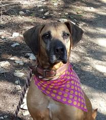 Rhodesian Ridgeback Mix Dog For Adoption in Lago Vista, TX, USA