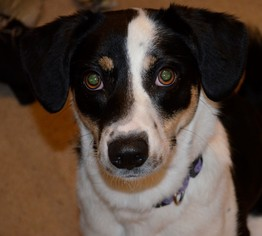 Border Collie Mix Dog For Adoption in Raleigh, NC