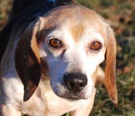 Beagle Dog For Adoption in Chesapeake City, MD, USA
