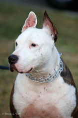 American Staffordshire Terrier-Bull Terrier Mix Dog For Adoption in Staten Island, NY, USA