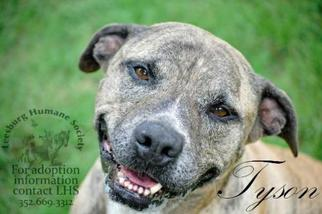 American Pit Bull Terrier-Labrador Retriever Mix Dog For Adoption in Leesburg, FL, USA
