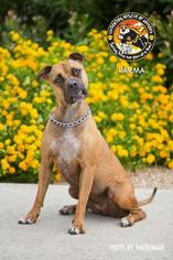 Boxer-Great Dane Mix Dog For Adoption in Chandler, AZ