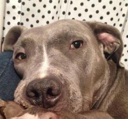 American Pit Bull Terrier Dog For Adoption in Grand Prairie, TX