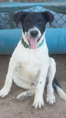 Labrador Retriever Dog For Adoption in Phoenix, AZ, USA