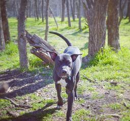 Labrador Retriever Dog For Adoption in Dallas, TX