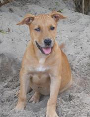American Pit Bull Terrier Dog For Adoption in Chuluota, FL