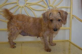 View Ad Dachshund Mix Dog For Adoption