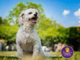 View Ad: Cockapoo Dog for Adoption, Virginia, Norfolk, USA