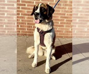Saint Bernard Dogs for adoption in Goodyear, AZ, USA