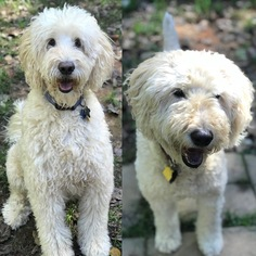 Goldendoodle Dog For Adoption in Forest, VA, USA